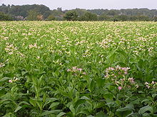 Nicotine is derived from the leaves of Nicotiana tabacum. The image is displaying a field of Nicotiana tabacum plants.