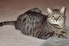 Tabby-cat-domestic-shorthair-balthazar.jpg