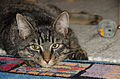 Tabby-cat brown our new pet 30062015 5046.jpg