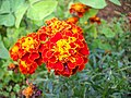 Tagetes cultivar red and yellow 8399.jpg