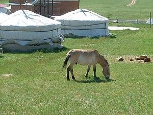 Khustain Nuruu National Park - A Przewalski's horse