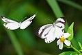 Talbotia naganum karumii female back 20140419.jpg