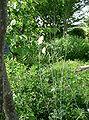 Tanacetum cinerariifolium2.jpg