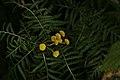 Tanacetum vulgare (36039201823).jpg
