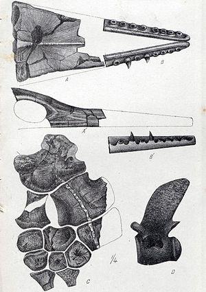1874 in paleontology - Taniwhasaurus oweni