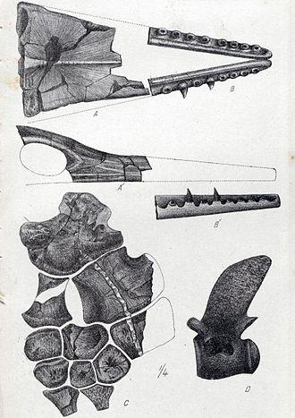 Taniwhasaurus - Skull and jaw material of Taniwhasaurus oweni