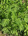Tansy (Tanacetum vulgare) - Guelph, Ontario 2020-06-07.jpg