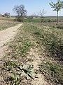 Taraxacum serotinum sl119.jpg