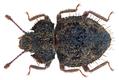 Tarphiosoma pilosum (Motschulsky, 1863) (27226643236).png