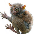 Tarsier white background.jpg