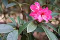 Tatton Park 2015 09 - Rhododendron.jpg