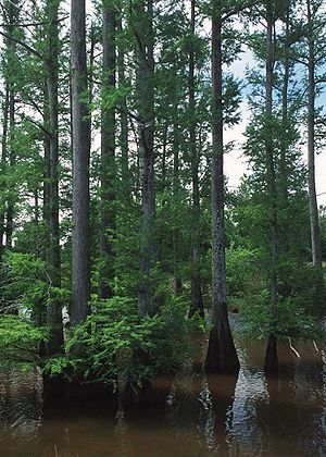 Taxodium - Bald Cypress forest  in a central Mississippi lake