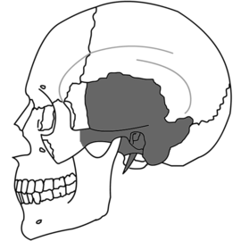 Temporal Bone Simple.png