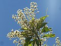 Terminalia phanerophlebia, bloeiwyses, Manie van der Schijff BT, d.jpg