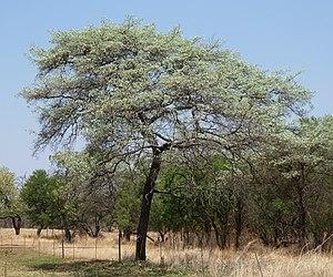 Terminalia sericea - In spring foliage