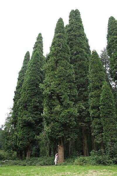 Incense cedar  (Calocedrus decurrens).