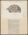 Testudo mauretanica - 1700-1880 - Print - Iconographia Zoologica - Special Collections University of Amsterdam - UBA01 IZ11600037.tif