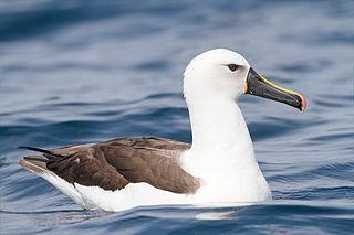 Indian yellow-nosed albatross Member of the albatross family, Diomedeidae