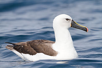 Indian yellow-nosed albatross - Off the south-east coast of Tasmania