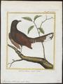 Thamnobia podobe - 1700-1880 - Print - Iconographia Zoologica - Special Collections University of Amsterdam - UBA01 IZ18700219.tif