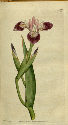 The Botanical Magazine, Plate 21 (Volume 1, 1787).png