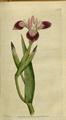 The Botanical Magazine, Plate 21 (Volume 1, 1787).png