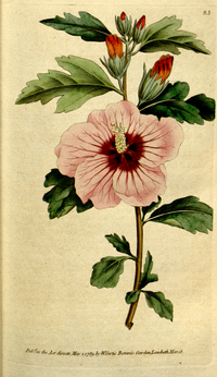 The Botanical Magazine, Plate 83 (Volume 3, 1790).png