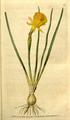 The Botanical Magazine, Plate 88 (Volume 3, 1790).png
