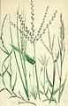 The British grasses and sedges (1858) (14763690172).jpg