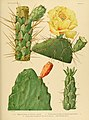 The Cactaceae (Plate XV) (6025950061).jpg