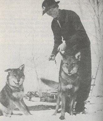 Coydog - Captive coydogs in Wyoming