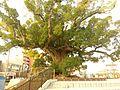 The Great Camphor tree in Iwata.jpg