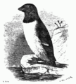 The Little Auk.png