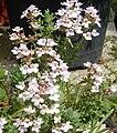 Thymus vulgaris 2 (Espagne).JPG