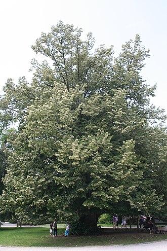 Tilia tomentosa - Tree in a public park in Belgium