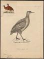 Tinamus obsoletus - 1700-1880 - Print - Iconographia Zoologica - Special Collections University of Amsterdam - UBA01 IZ18900229.tif