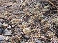 Tiquilia nuttallii (4031388765).jpg