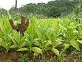 Tobacco, Malawi (2490343802).jpg