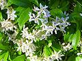 Trachelospermum jasminoides ParquePoblado 2014-05-16 Puertollano.jpg