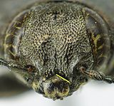 Trachypteris picta head.jpg