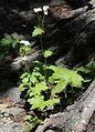 Trautvetteria caroliniensis var. japonica.JPG