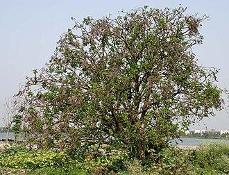 Erythrina variegata - Tree in Kolkata, West Bengal, India.