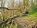 Tree down in Yarty Copse - geograph.org.uk - 1252277.jpg