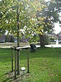 Tree in honour of then Prince Willem Alexander of the Netherlands in Bredevoort.jpg