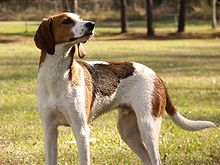 Treeing-walker-coonhound-standing.jpg