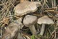 Tricholoma myomyces 69290.jpg