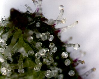 Tetrahydrocannabinol - Closeup of THC-filled trichomes on a Cannabis sativa leaf