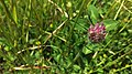 Trifolium pratense with foliage.jpg