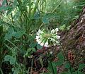 Trifolium reflexum.jpg