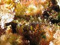 Tripterygion tripteronotus Corse 1.JPG